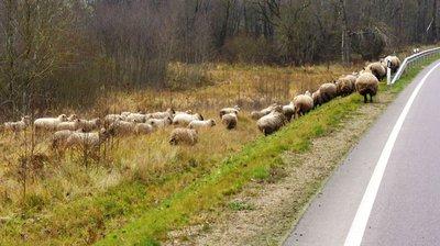 Mano ūkis - Jaunas avių augintojas eina ieškojimų keliu