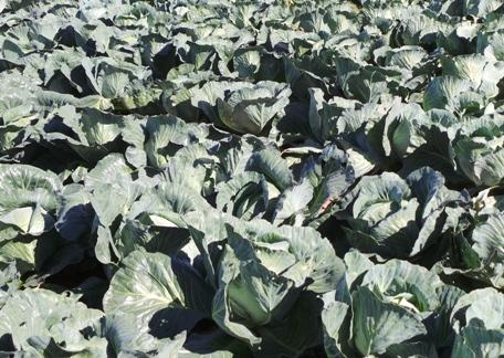 kopūstai, laukas, daržovės